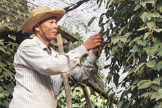 Pfefferfarm Kambodscha fairer Anbau