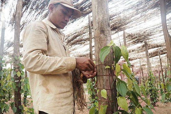 Handarbeit auf der Pfefferfarm