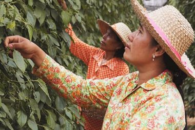 Kampot Pfeffer Ernte auf Uncle´s Pepperfarm